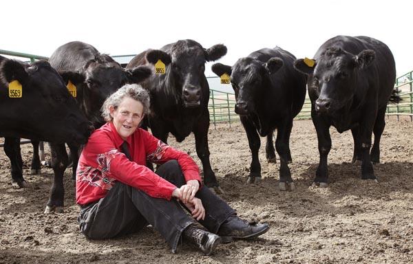 Temple Grandin mucche