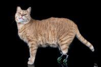 Vito, il gatto bionico con due protesti al posto delle zampe