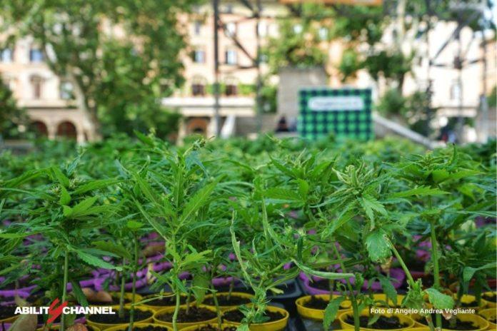 cannabis depenalizzata in messico