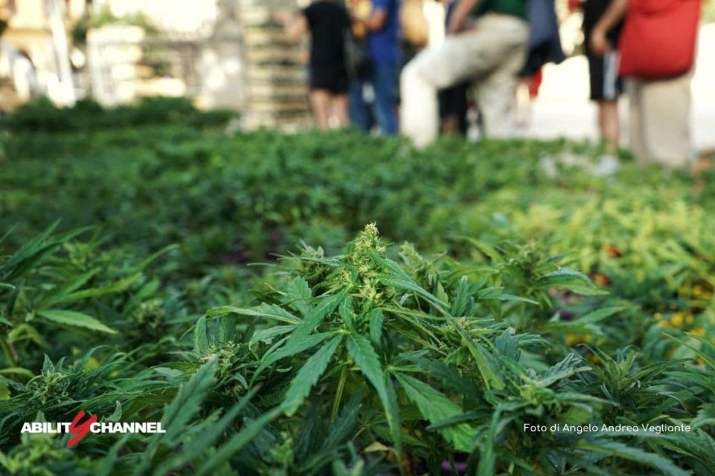 ddl cannabis coltivazione