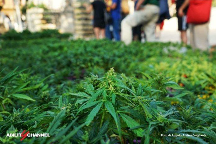 legalizzazione cannabis coltivazione domestica